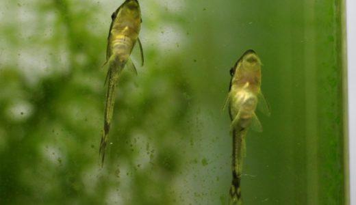 オトシンクルス、シマドジョウ、石巻貝はメダカと混泳できる