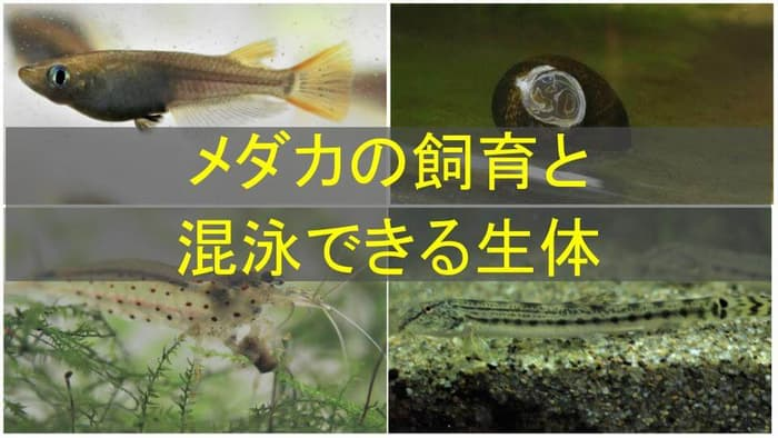 メダカと混泳できる生き物