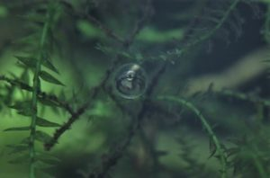 メダカの卵。孵化直前
