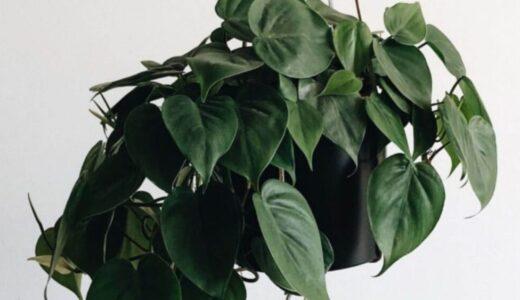 ポトスの育て方は簡単!気軽に部屋に置ける観葉植物