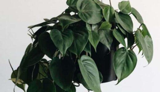 ポトスの育て方は簡単!気軽に置ける観葉植物