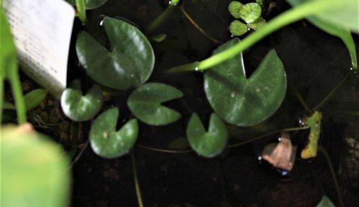スイレンの葉
