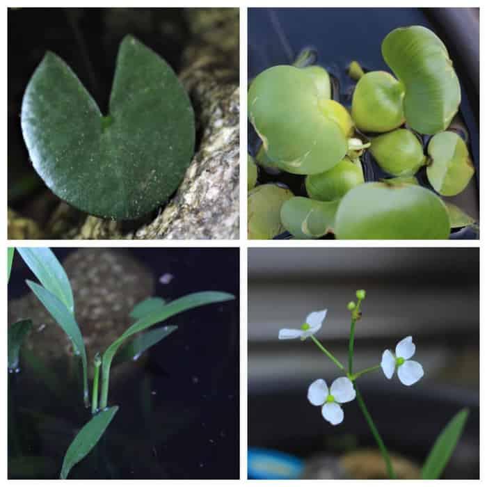メダカビオトープの水草