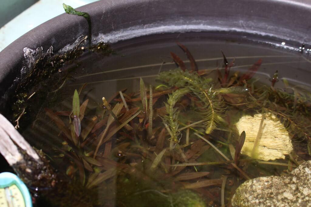 メダカの屋外の水槽