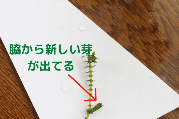 新しい芽が出てるアナカリス