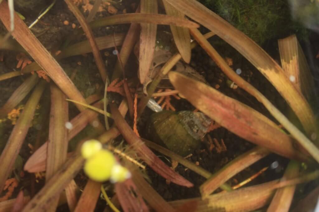 ナガバオモダカの葉の下に隠れるメダカ