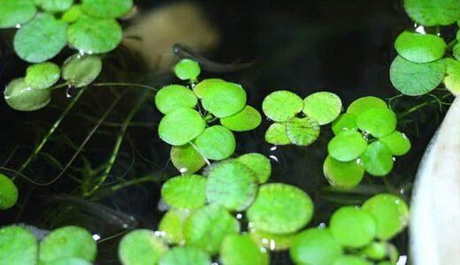 アマゾンフロッグピットはメダカ飼育に便利な浮き草