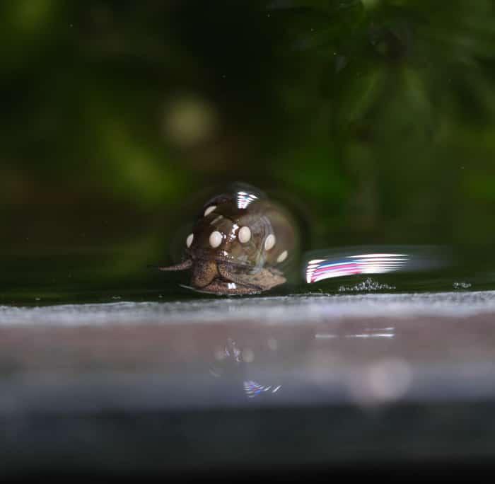 石巻貝に卵を産みつけられたタニシ