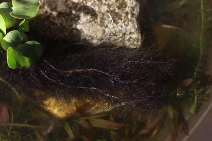 ホテイアオイの根