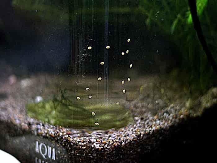 石巻貝の卵
