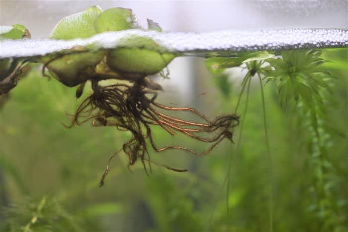 オオサンショウモの根